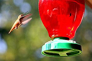 Humingbird_1